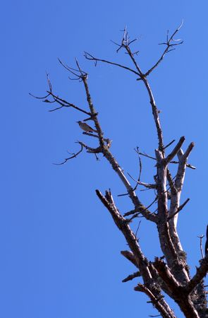 birdwatching: Little bird on the top of the dried tree