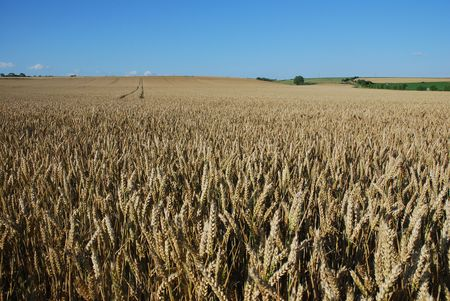 vendee: wheat field in the ouest part of France in the Vendee region