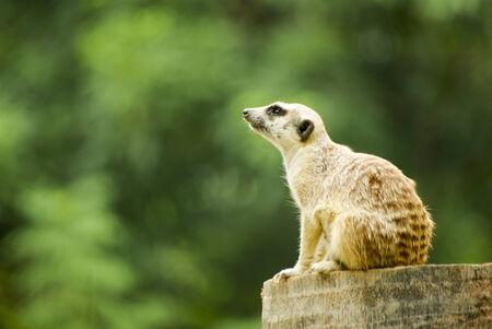 graden: Meerkat in graden