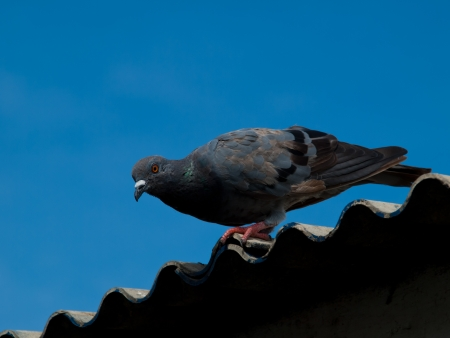Pigeon photo
