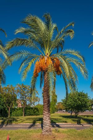date palm tree: Date palm tree in front of blue sky, 2014