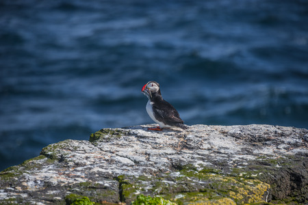 puffins: Icelandic puffin with fish in its beak at remote islands, Iceland, summer, 2015