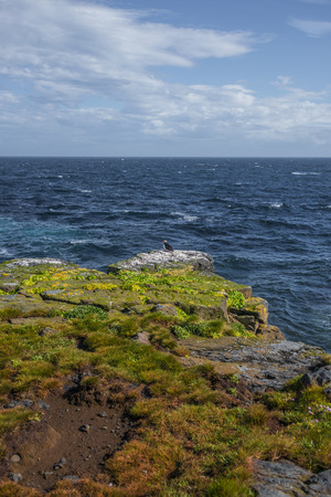 puffins: Colony of Icelandic puffins at remote islands, Iceland, summer, 2015