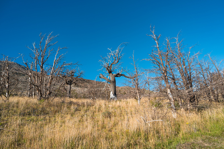 Dead forest at Torres del Paine National Park, Chile, Patagonia, South America