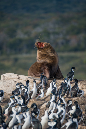 Big fur sea lion surrounded by cormorants on Beagle Channel, Patagonia, Argentina Stock Photo