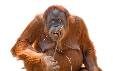 Eating asian orangutan isolated at white background, adult Stock Photo