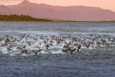 Colony of king cormorants Beagle Channel, Patagonia, summer
