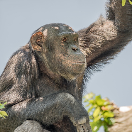 watchful: Chimpanzee portrait at tree at guard, adult, male