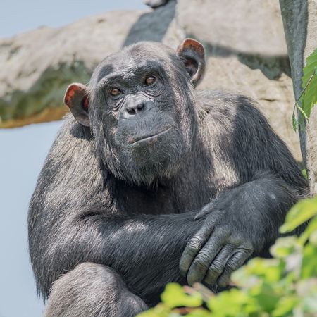 Chimpanzee portrait at tree at guard, adult, male