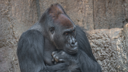 to contemplate: Portrait of powerful African gorilla, adult, alpha male Stock Photo