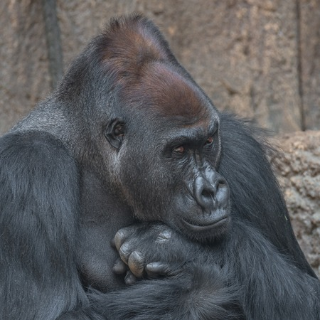 Portrait of powerful African gorilla, adult, alpha male Stock Photo