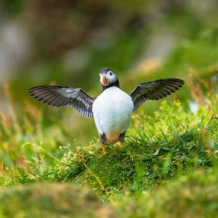 North Atlantic ocean puffins at Faroe island Mykines, late summer time