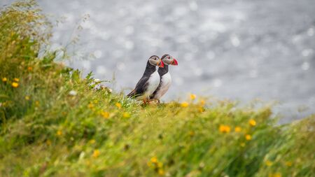 Icelandic puffins at remote islands on Iceland, summer time, Grimsey