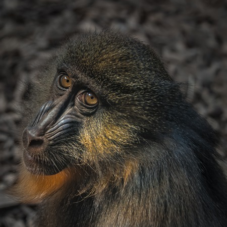 Portrait of young African mandrill in the open resort, close up