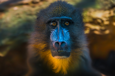 Portrait of African mandrill in the open resort, close up