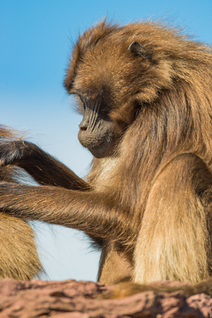 Portrait of African baboons in the open resort at blue sky, closeup