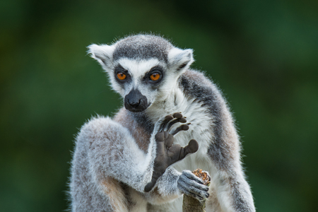 smooth: Ring-tailed Madagascar lemur at smooth background