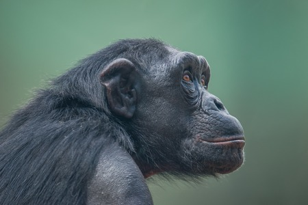 Chimpanzee portrait close up at open resort, adult, male