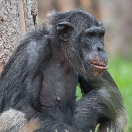 Chimpanzee portrait close up at open resort, adult, male