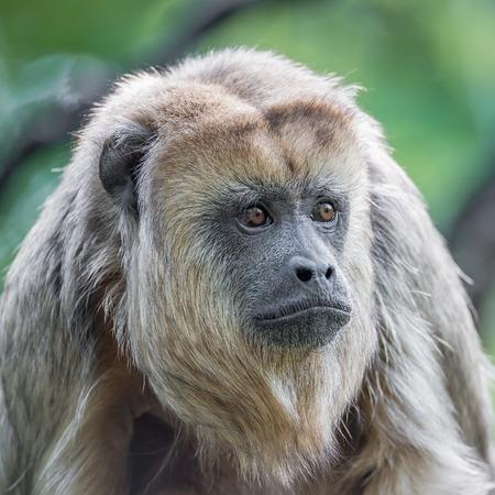Portrait of Brazilian Amazonian Capuchin monkey, adult, male Stock Photo