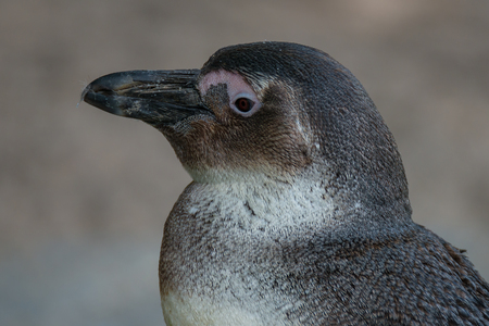 Portrait of funny African penguin at close up, adult Stock Photo