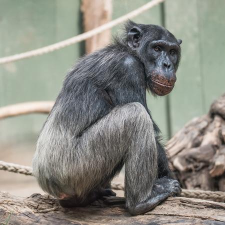 Thinking chimpanzee portrait, closeup