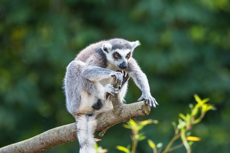 Ring-tailed Madagascar lemur at smooth background