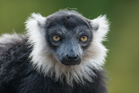 smooth: Portrait of black and white ruffed lemur at smooth background, adult, male