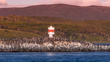 Colony of king cormorants  at Beagle Channel, Patagonia, summer time