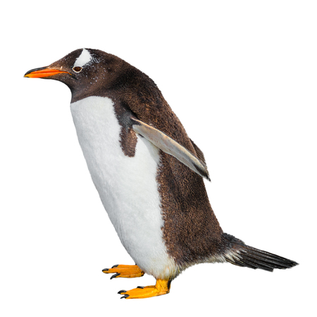 Funny Gentoo penguin isolated at white background, Beagle Channel in Patagonia, Argentina