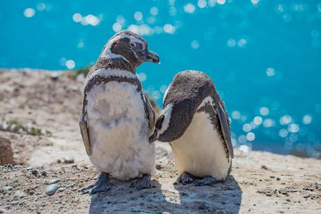 Magellanic penguins guarding their nest, peninsula Valdes, Patagonia, Argentina 版權商用圖片