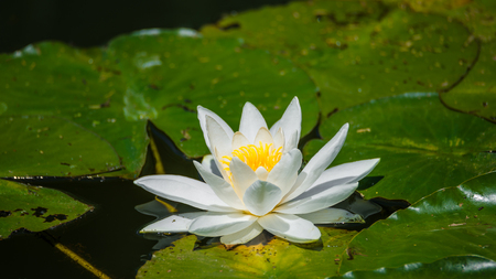 Gorgeous water lily, lotus, floating in a small pond at Spring, sunny day, garden