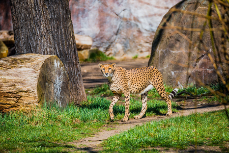 Portrait of strong and fast African cheetah, close up, young adult Stock Photo