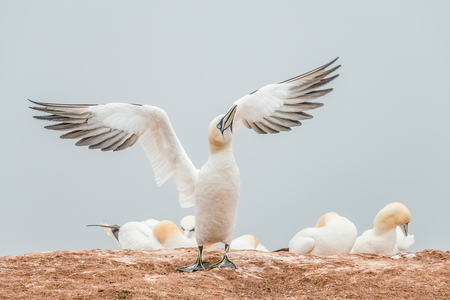 Lovely nature awakening, wild North Atlantic gannets, smooth gradient background Stock Photo