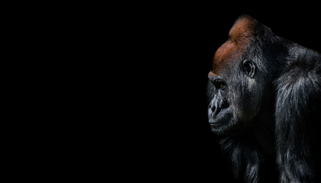 Portrait of powerful alpha male African gorilla at guard, zoom, details, at black background Archivio Fotografico