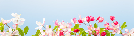 Gorgeous Spring cherry flowers at smooth background, sunny day, tropical garden