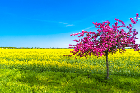 Beautiful farm landscape of rapeseed field and pinky cherry tree in Spring, Germany, sunny day