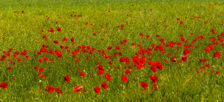 Summer sunset at red field of poppies, gorgeous nature, closeup, details