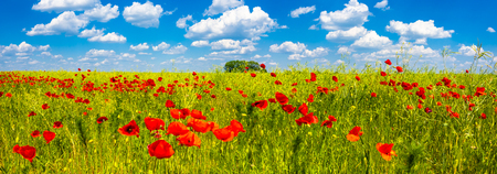 Summer sunset at red field of poppies, gorgeous nature, closeup, details, blue sky