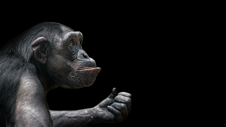 Portrait of curious Chimpanzee like asking a question, at black background, extreme closeup, details, paste space