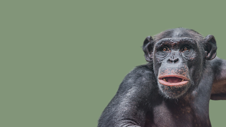 Portrait of curious wondered Chimpanzee at smooth uniform background, extreme closeup, details, paste space