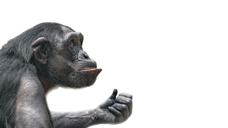Portrait of curious Chimpanzee like asking a question, at white background, extreme closeup, details, paste space Stockfoto