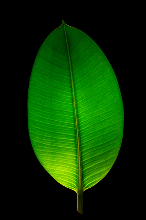 Indian Ficus Elastica leaf illuminated with light through, isolated at black background, closeup, details Stock Photo