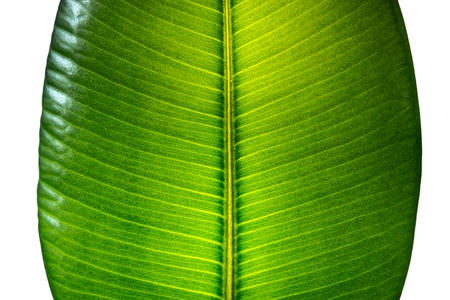 Indian Ficus Elastica leaf illuminated with light through, isolated at white background, closeup, details