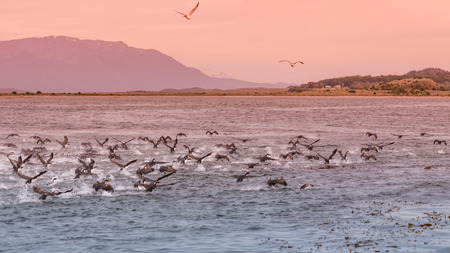 Panoramic view of colony of king cormorants at Beagle Channel, Patagonia, Tierra del Fuego National Park, summer time, at sunset Banque d'images - 119148784