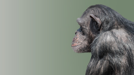 Portrait of curious wondered Chimpanzee at smooth uniform background and paste space