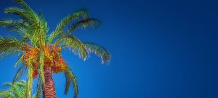 Banner concept with colorful tropical date palm trees with edible sweet fruits at blue gradient background with copy space for text