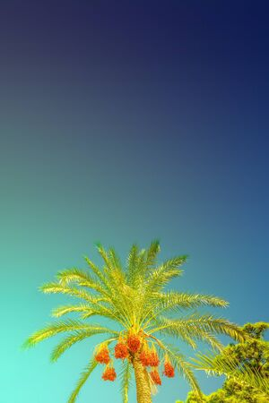 Beautiful date palm trees in front of blue turquoise sky with edible sweet fruits, Mediterranean Sea, sunny and colorful gradient background Stok Fotoğraf