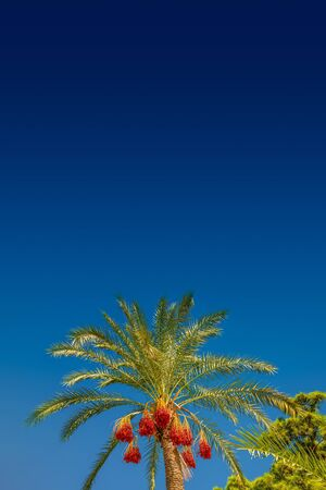 Beautiful date palm tree in front of blue sky with edible sweet fruits, Mediterranean sea, blue sky, sunny, gradient background