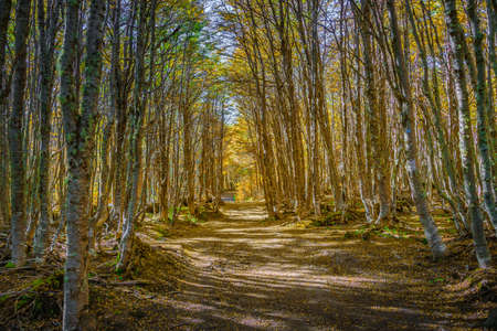 Hiking trail at magical austral Magellanic subpolar forests in Tierra del Fuego National Park, near Ushuaia and Beagle Channel, Patagonia, Argentina, at golden Autumn colors